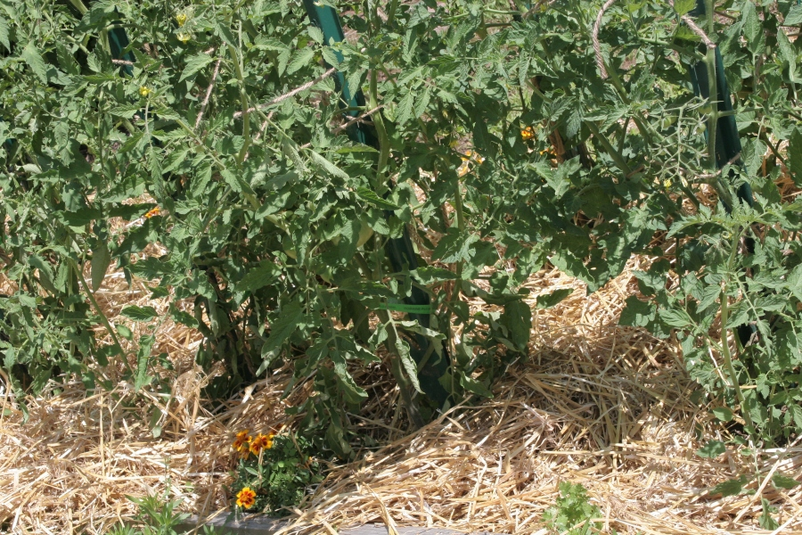 Freshly mulched tomatoes