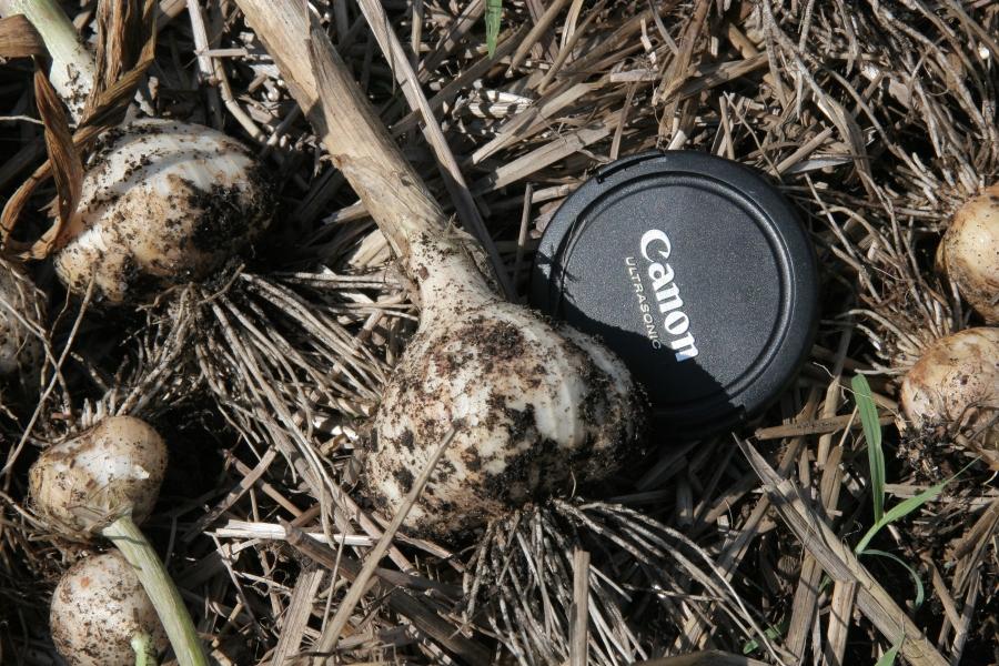 A huge head of freshly harvested garlic