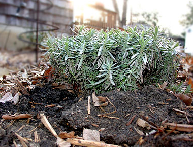 Frost heaves can kill plants