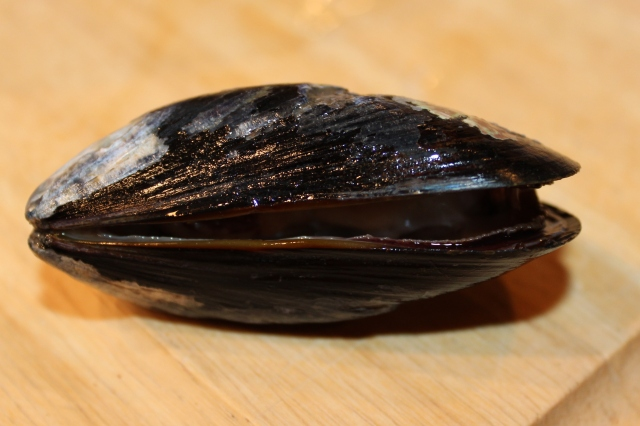 A mussel that did not close during washing. It should be discarded.