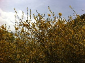 Friendlier Alternative to Forsythia