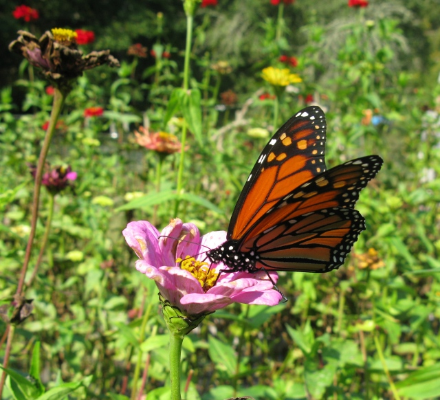 Zinnias and Monarch