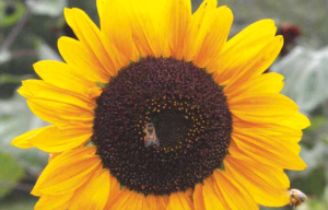 Bees on Sunflowers