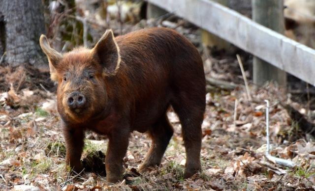 Brown Boar piglet